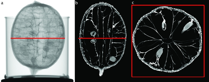 Cross sections through a lemon made using a µ-CT scanner. (Images: Wolf-Achim Kahl)